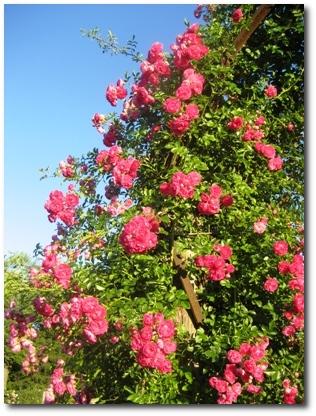 Roses at Elizabeth Park