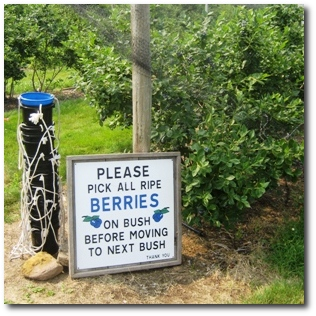 Pick Your Own Blueberries - But Be Sure to Follow the Rules