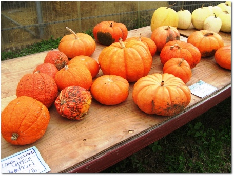 Pumpkins at Robbs Farm in Glastonbury
