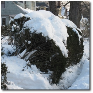 Shrub feeling the weight of the snow