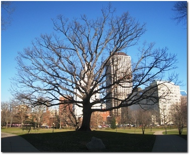 Scion of the Charter Oak, in Bushnell Park