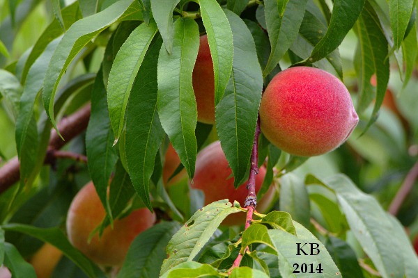 2014-07-14 Peach Season in Glastonbury